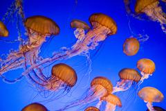 Sea nettle jellyfish - stock photo