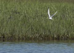 Least Tern in flight - stock photo
