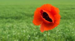 Papaver rhoeas common names include corn poppy , corn rose , field poppy - stock photo