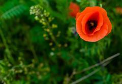 Papaver rhoeas common names include corn poppy , corn rose , field poppy - stock photo
