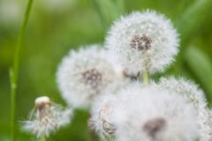 The white fluffy dandelions specially blurred background Stock Photos