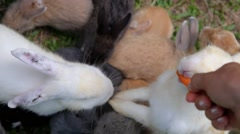 Group of Rabbits Eating Carrot From Hand in Farm Stock Footage