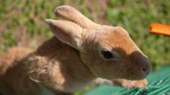 Feeding Lovely Rabbit Close Up. Care and Love to Animals Concept - stock footage