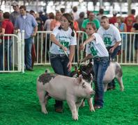 DES MOINES, IA /USA - AUGUST 10, 2014: teens exercising and showing swine at Iow - stock photo