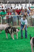DES MOINES, IA /USA - AUGUST 10,2014: teen exercising and showing swine at Iowa  Kuvituskuvat