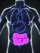Human Small Intestine Anatomy - stock illustration