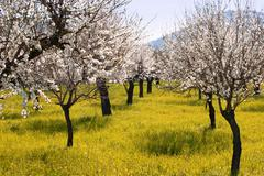 An Almond tree orchard in bloom Stock Photos