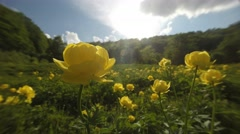 A Plurality of Yellow Flowers on the Meadow Near Forest Close-Up Time Lapse Stock Footage