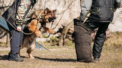 German Shepherd Dog Training. Biting Alsatian Wolf Dog - stock photo