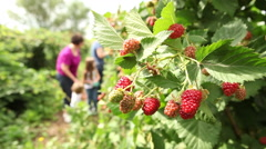 Family picking berries in field Stock Footage