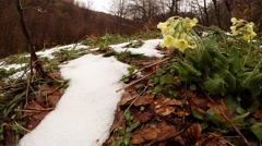 Yellow Flowers on the Leaf Litter Next to Snow on the Forest Background Stock Footage