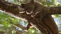 Fossa female during mating season sleeping on branch high in the tree Stock Footage