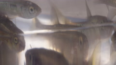 Fishing Bait - Minnows in a plastic bag ready to be put on the hook - stock footage