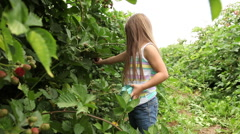 Young girl picking fresh blackberries in a field Stock Footage
