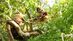 Fossa copulation high in the tree Stock Footage