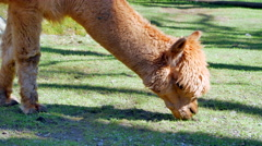 4K Medium Shot of Alpaca Animal Grazing on Green Grass Field Stock Footage