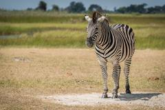 Burchell's zebra on grassy plain facing camera - stock photo
