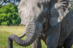 Close-up of elephant resting trunk on tusk Stock Photos