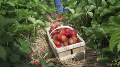 A basket filled with fresh picked strawberries in a  local farm - stock footage