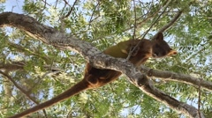 Fossa male during mating season on branch high in the tree Stock Footage