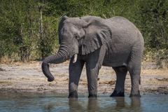 Elephant drinking with trunk resting on tusk - stock photo