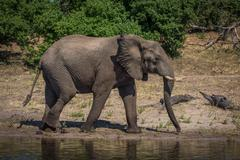 Elephant in profile walking along sunny riverbank Stock Photos