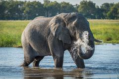 Elephant in river squirting jet of water Stock Photos