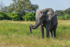 Elephant standing with trunk hooked on tusk - stock photo