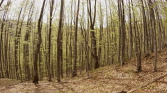A Plurality of Thin Tree Trunks Becomes Covered With Leaves in a Young Mountain Stock Footage