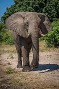 Elephant walking along sandy riverbank towards camera - stock photo