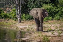 Elephant walking along wooded shoreline in sunshine - stock photo