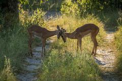 Female impala butting heads in dappled sunlight Stock Photos