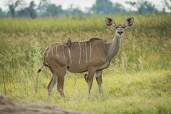 Female greater kudu with oxpeckers facing camera - stock photo