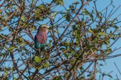 Lilac-breasted roller perched in leafy bush - stock photo