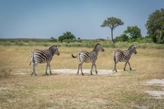 Line of three Burchell's zebra on plain Stock Photos