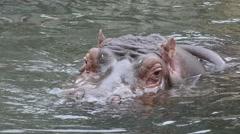 The common hippopotamus (Hippopotamus amphibius) Stock Footage