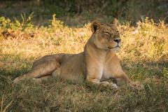 Lioness lies staring on grass in shade Stock Photos