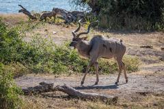 Male greater kudu with oxpeckers on riverbank - stock photo