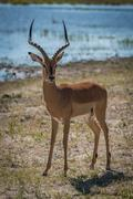 Male impala on grassy riverbank facing camera - stock photo