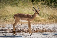Male impala on sandy ground turning head - stock photo