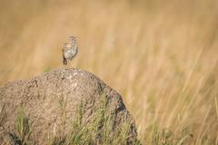Monotonous lark on termite mound in grassland - stock photo