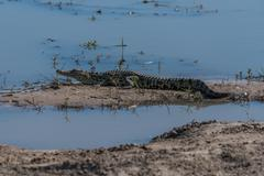 Nile crocodile on mud bank in shallows Stock Photos