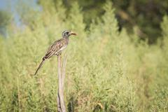 Red-billed hornbill on wooden post in bushes - stock photo