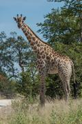 South African giraffe among trees facing camera - stock photo