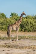 South African giraffe in bush facing camera - stock photo