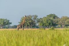 South African giraffe in meadow facing camera - stock photo
