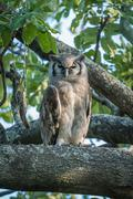 Spotted eagle owl in tree facing camera Stock Photos