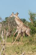 Two South African giraffe with necks entwined - stock photo