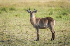 Young waterbuck standing in meadow facing camera Stock Photos