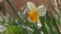 Yellow and white Narcissus poeticus bud  in the garden 4K 2160p 30fps UltraHD Stock Footage